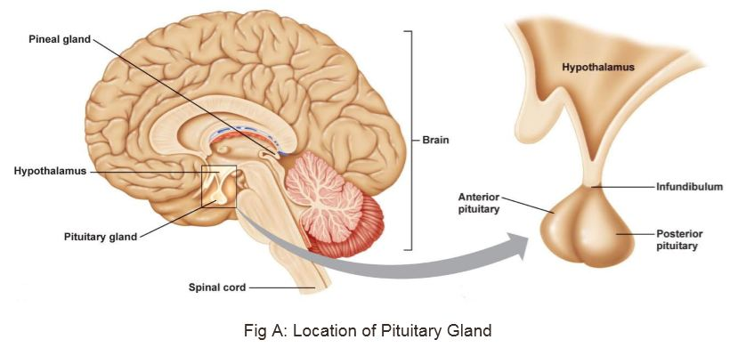 Pituitary Gland unfolded! Here is all you need to know! - askIITians ...