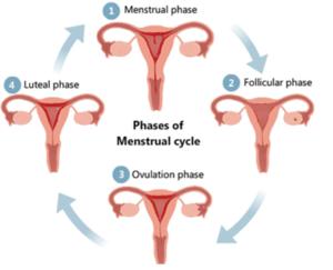 menstural-cycle-2