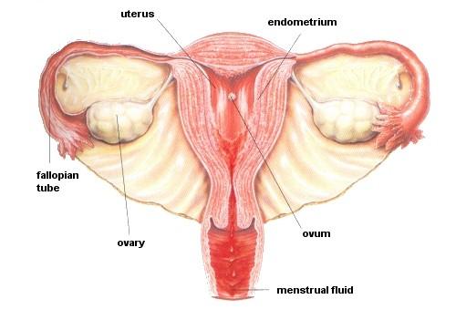 Menstrual Phase (day 1-5)